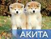 Племенной питомник Японских пород собак - Go You Djenima