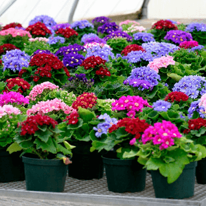 Рассада и цветы