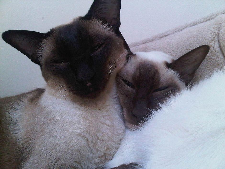 С кем можно вязать сиамскую кошку