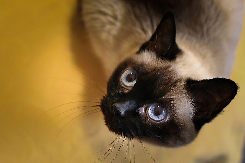 Вязка тайской кошки