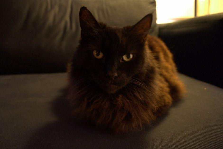 Вязка кошек шантильи тиффани