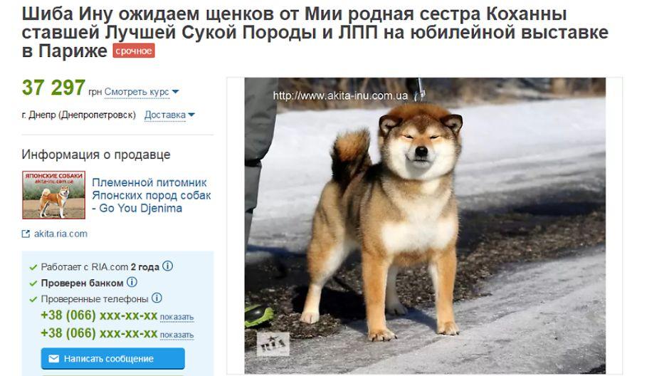 Цена щенков Шиба-ину
