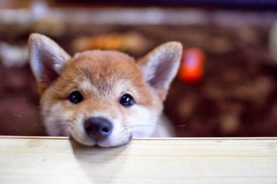 Чистоплотность японской собаки Сиба