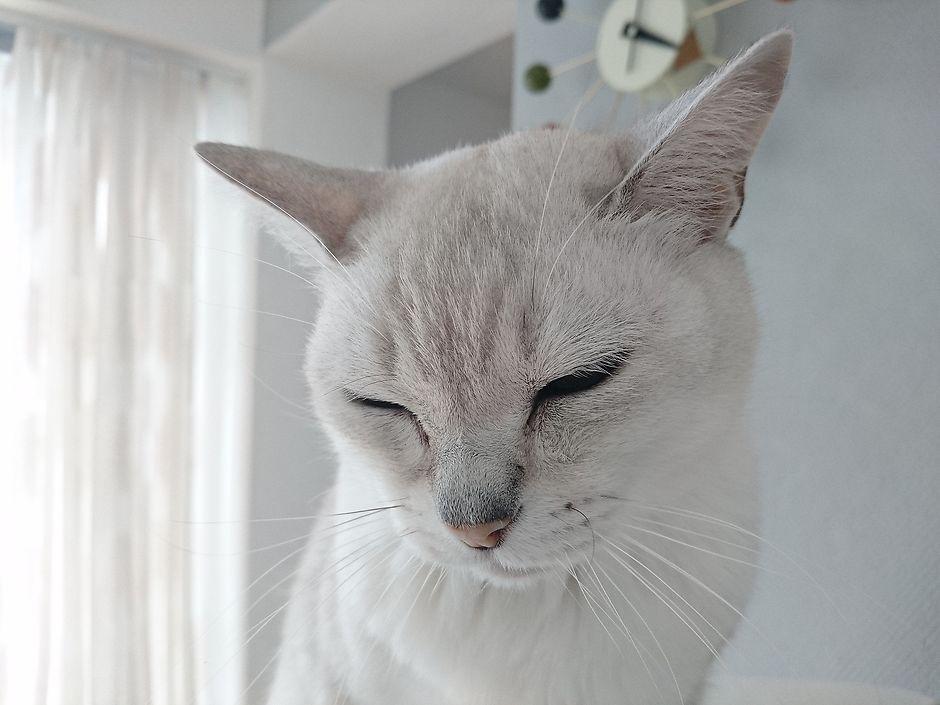кот бурмила