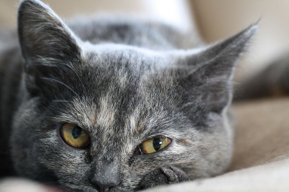 Вязка шотландской кошки