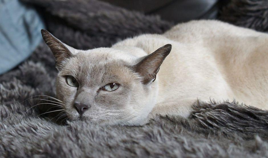 Вязка тонкинской кошки