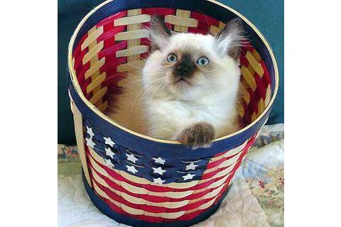 Купить балинезийского котенка в Интернете — просто