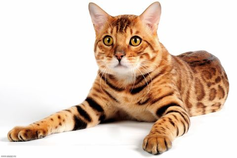 Коты вязка бенгал