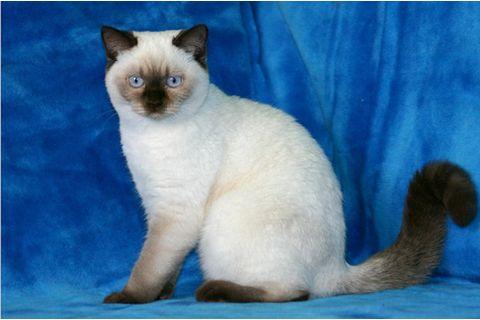 британское котята колор поинт фото