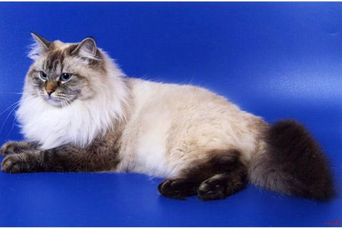 Невская маскарадная кошка для вязки кот