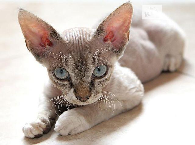Нужен кот девон рекс для вязки
