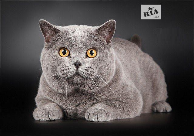 Характер, уход и питание британской кошки