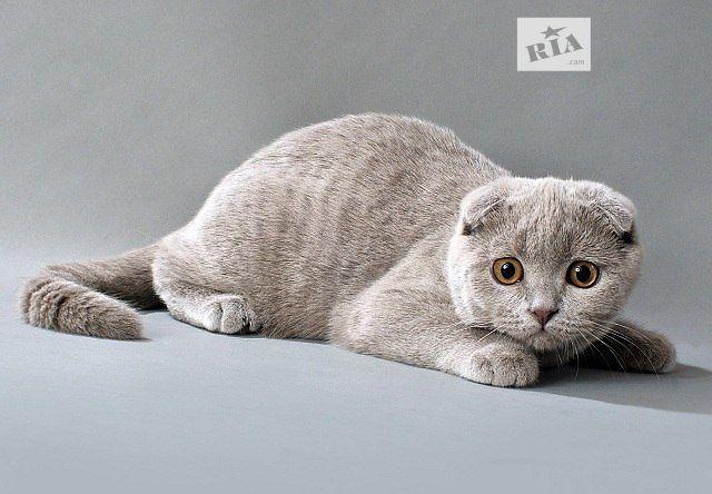 Характер, уход и питание шотландской кошки