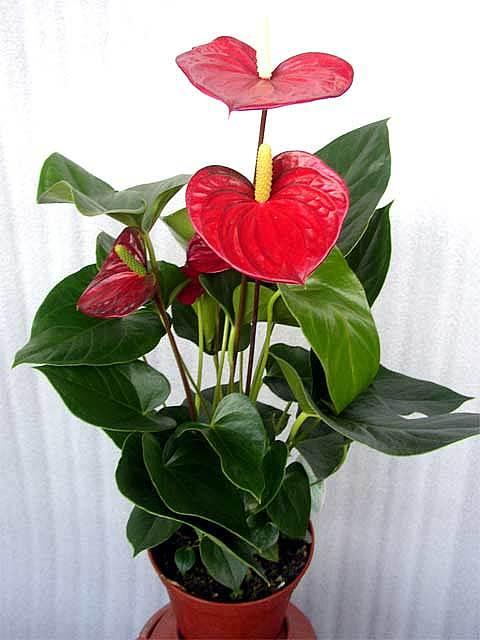 Мужской цветок в горшке