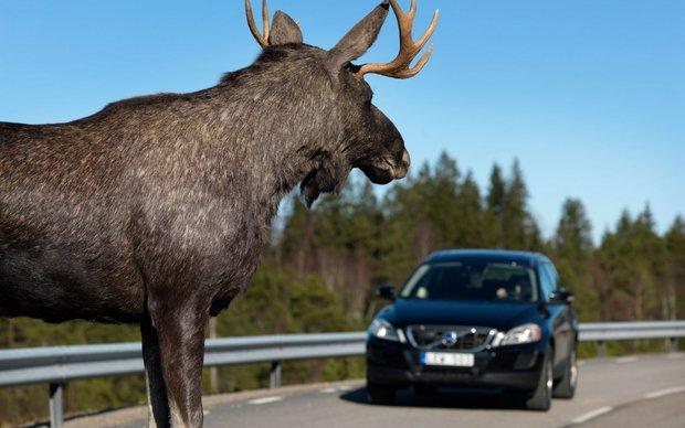 Смотри, олень на дороге