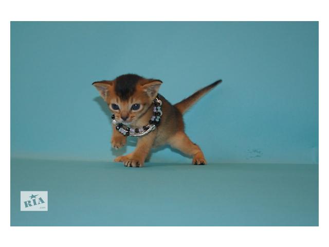 бу Абиссинские котята от питомника SHARAVI в Одессе