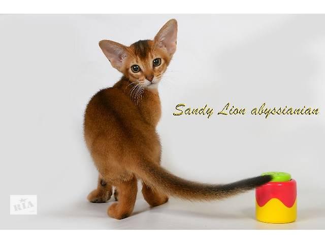 купить бу Абиссинские котята из питомника Sandy Lion в Харькове