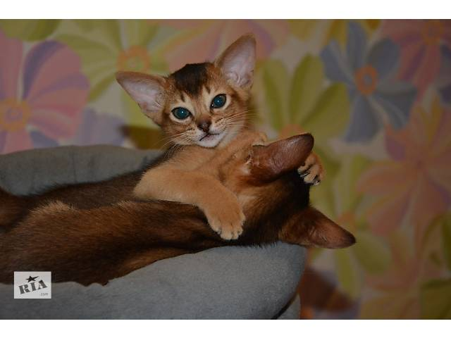 купить бу Абиссинские котята в Севастополе