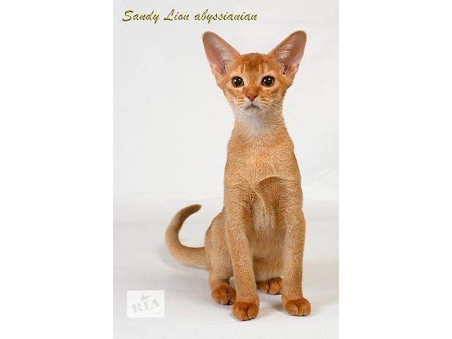 Абиссинские котята- объявление о продаже  в Харькове
