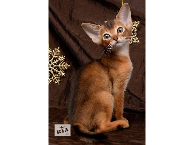 Абиссинские котята от элитных производителей- объявление о продаже  в Харькове