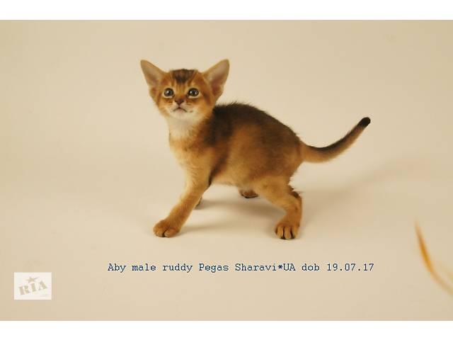 Абиссинский кошеня- объявление о продаже  в Одесі