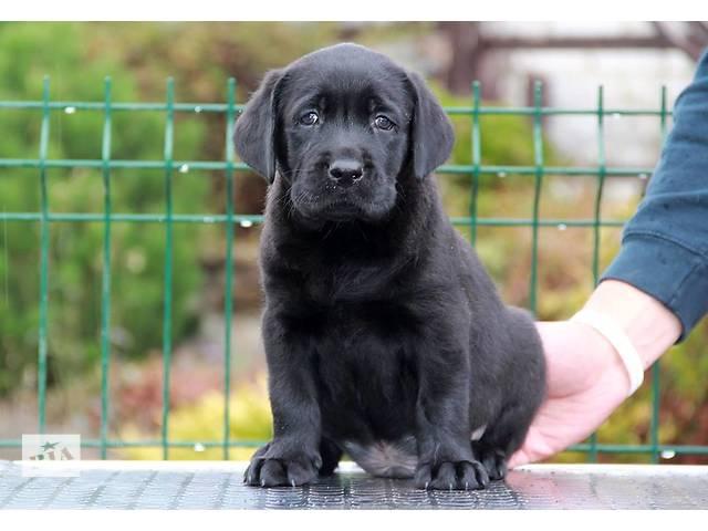 купить бу Алиментный щенок лабрадора в Харькове