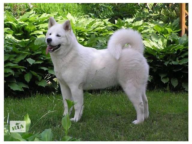 продам Американская акита, белые щенки. бу в Киеве