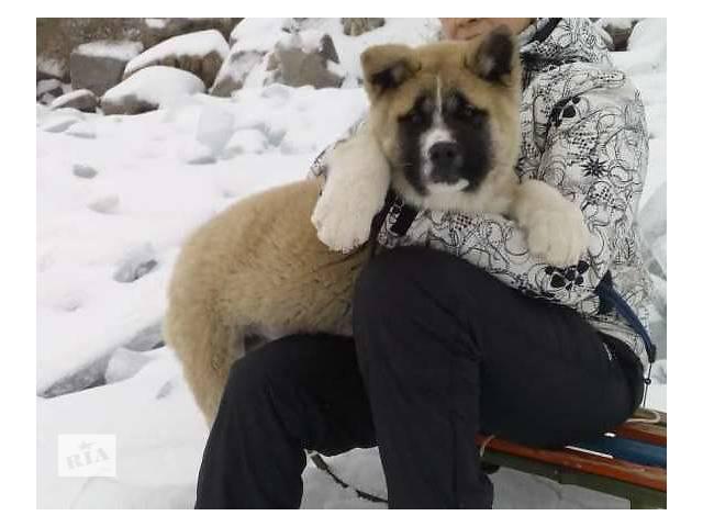 купить бу Американская акита, мальчик в Днепре (Днепропетровске)