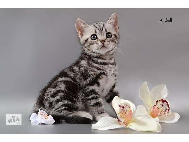 продам Американская короткошерстная. Котята от привозных родителей из США бу в Киеве