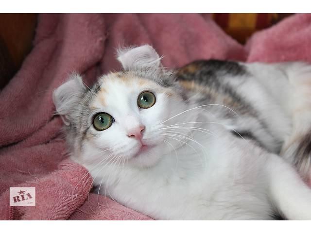 купить бу Американские керлы- Питер Пенн кошачьего мира, завитые ушки в Киеве