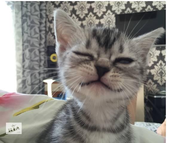 купить бу  Американские короткошерстные котята в Киеве