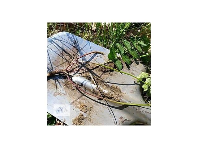 Бедренец, камнеломка (корень) 70 грамм- объявление о продаже  в Чернигове