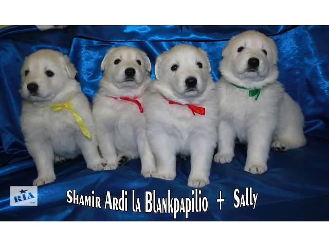 купить бу Белая Швейцарская Овчарка щенки ! в Кропивницком (Кировограде)