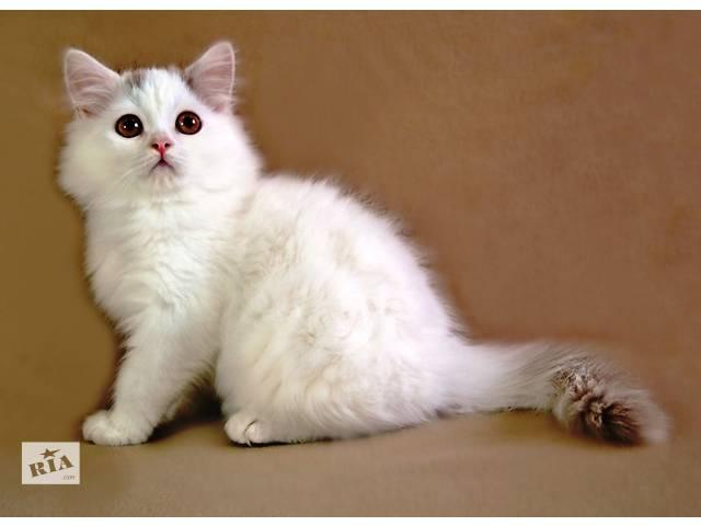 Белоснежный шотландский котенок- объявление о продаже  в Киеве