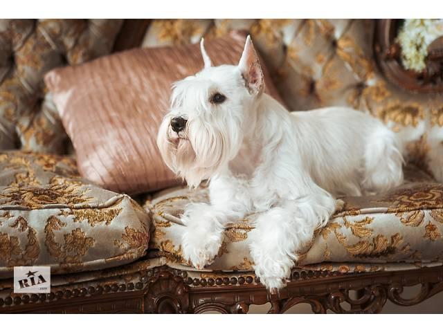Продажа собак, щенков цвергшнауцер в україні