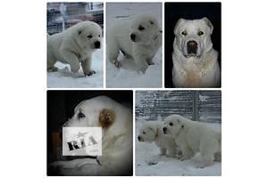 Белые щенки Алабай