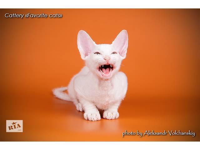 бу Белый котенок донского сфинкса в Киеве