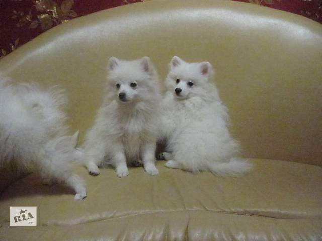 купить бу Белый шпиц, щенки в Киеве