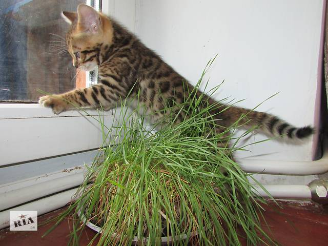 купить бу Бенгальські котенятка в Львове