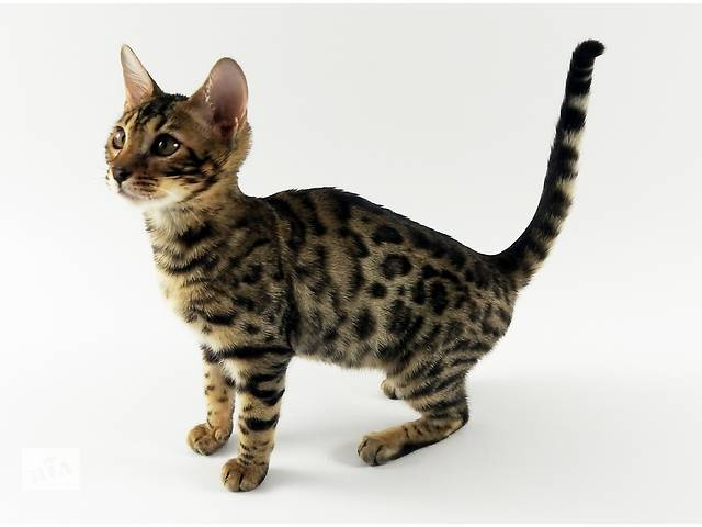 купить бу Роскошь и великолепие-Бенгальские котята! (питомник exotic jungle) в Днепре (Днепропетровске)