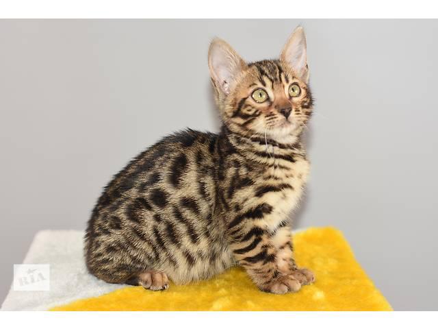 Роскошь и великолепие-Бенгальские котята! (питомник)- объявление о продаже  в Днепре (Днепропетровск)