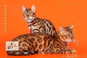 Бенгальськие котята