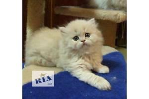 Бежевый камео котенок персидской шиншиллы