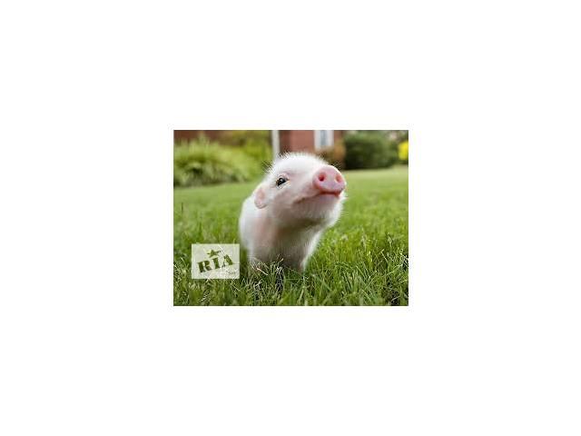 БМВД для свиней старт Оптиум 20% тм Kormil- объявление о продаже  в Киеве