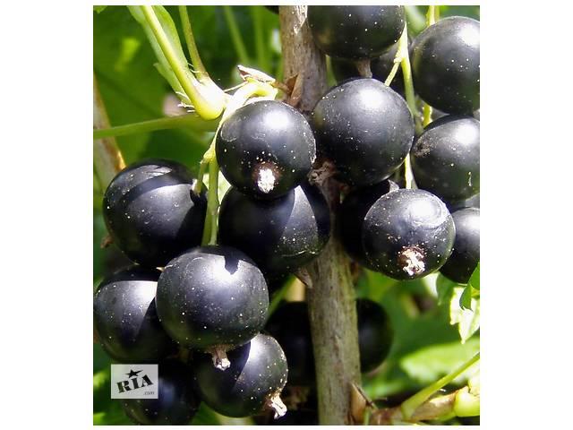 Большой ассортимент Черной и Красной смородины- объявление о продаже  в Днепре (Днепропетровске)