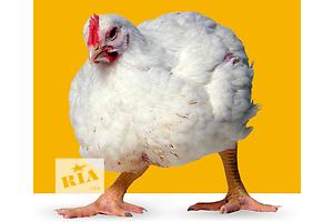 Курицы