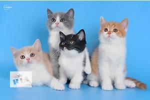 Британская кошка Британская короткошерстная мальчики и девочки