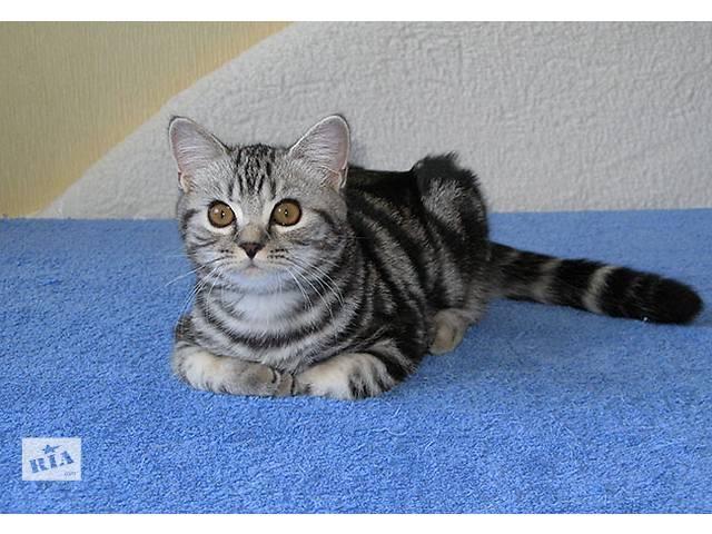 БРИТАНСКИЕ котята классического МРАМОРНОГО окраса- объявление о продаже  в Киеве