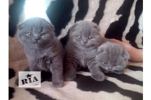 Британские плюшевые котята ждут папу и маму!