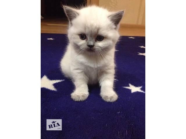 купить бу Британские прямоухие котята редкого окраса блю поинт. в Киеве